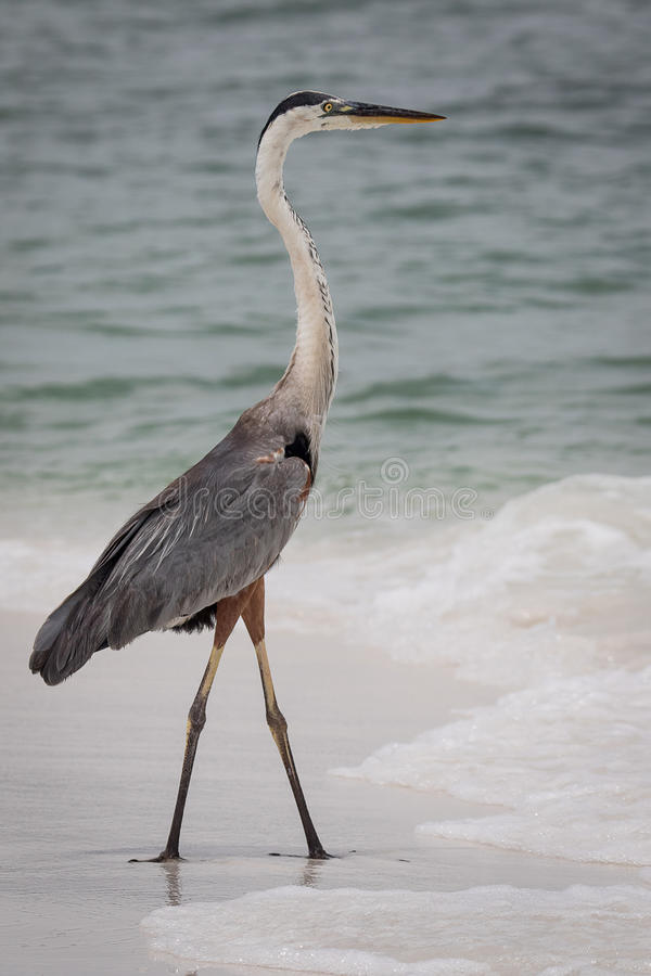 Free Great Blue Heron Royalty Free Stock Images - 98047029