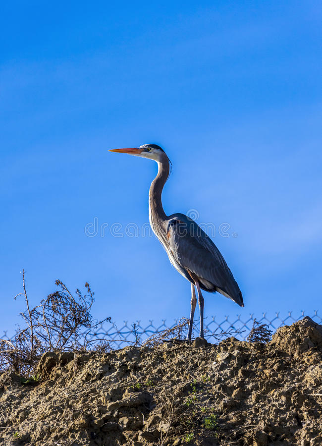 Great blue heron against a blue sky royalty free stock images