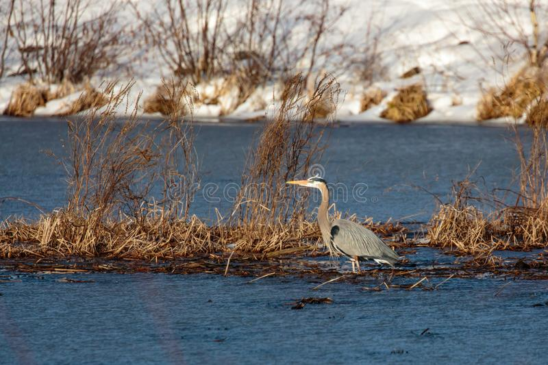 Great Blue Heron in April on a Wisconsin lake with snow in the background. Great Blue Heron Ardea herodias in April on a Wisconsin lake with snow in the royalty free stock images
