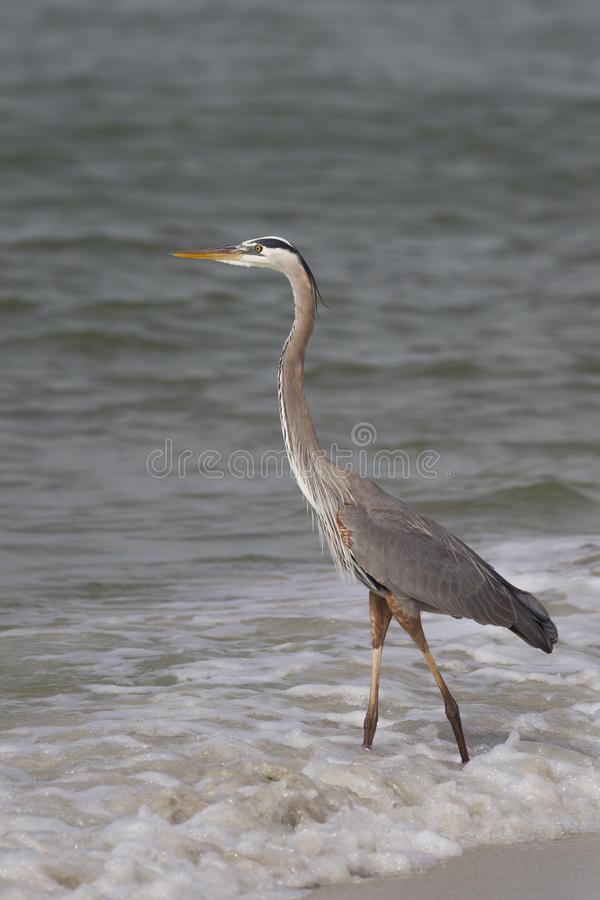 Great Blue Heron Ardea hernias on a Florida beach royalty free stock images