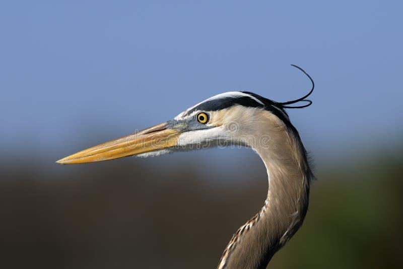 Download Great Blue Heron, Ardea Herodias Royalty Free Stock Photo - Image: 11751265