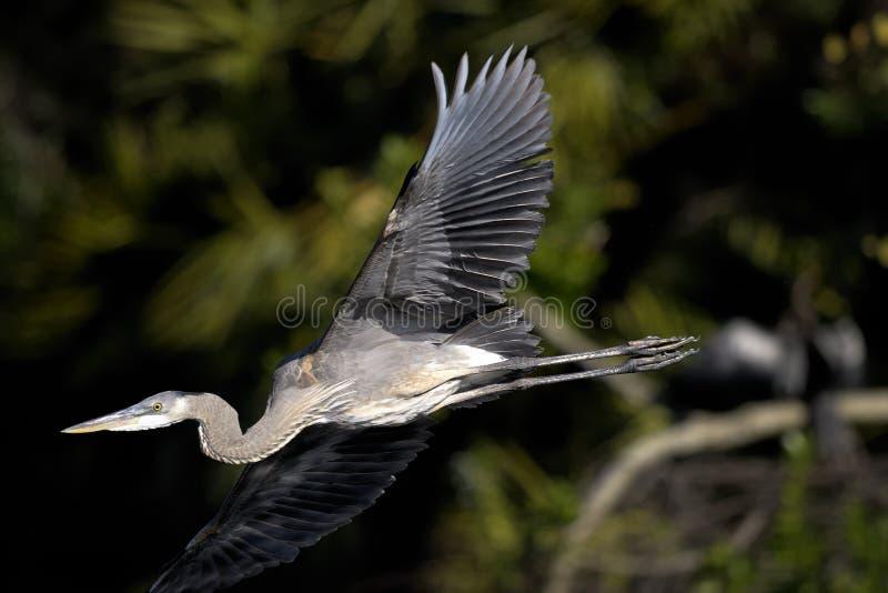Download Great Blue Heron, Ardea Herodias Stock Image - Image of legs, look: 11751527