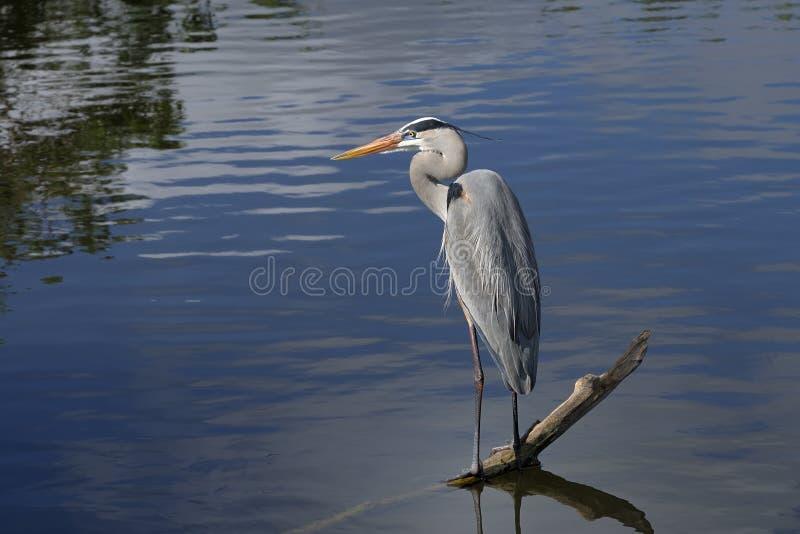 Download Great Blue Heron, Ardea Herodias Stock Image - Image: 11751639