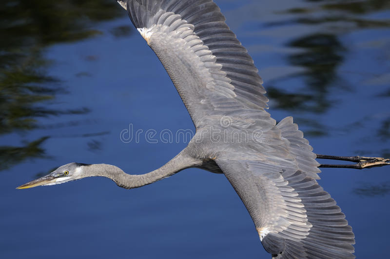 Download Great Blue Heron, Ardea Herodias Royalty Free Stock Photo - Image: 11751735