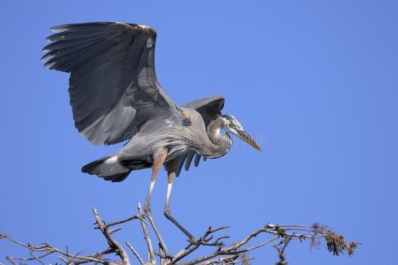 Download Great Blue Heron, Ardea Herodias Stock Image - Image: 11751787