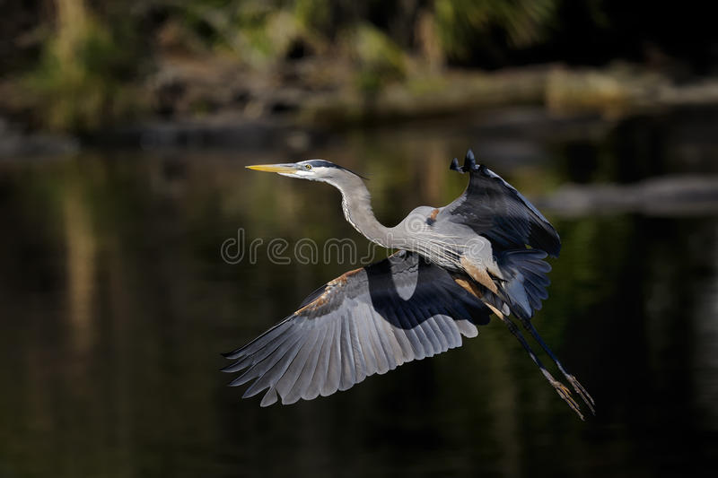 Download Great Blue Heron, Ardea Herodias Stock Photography - Image: 11752382