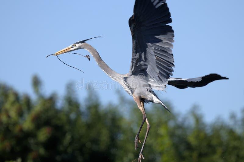 Download Great Blue Heron, Ardea Herodias Royalty Free Stock Photos - Image: 13513498