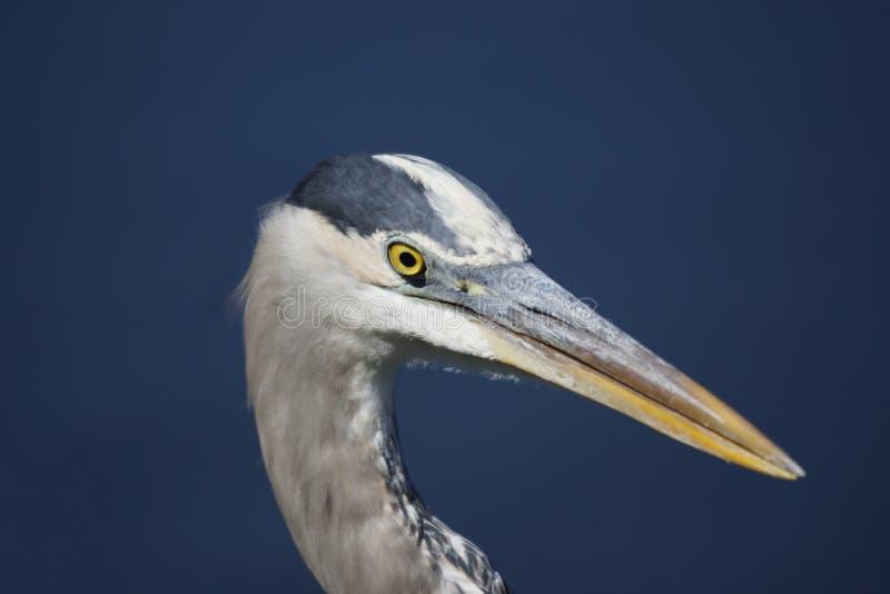 Great Blue Heron (Ardea herodias). Everglades National Park, Florida, United States royalty free stock photography