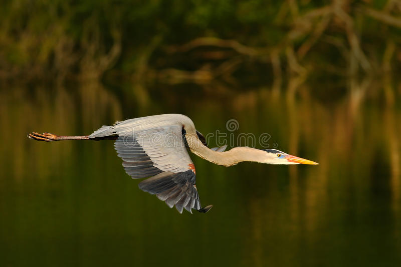 Great Blue Heron, Ardea herodias, in fly. Wildlife in Florida, USA. Water bird in flight. Flying heron in the green forest habitat.  royalty free stock photography