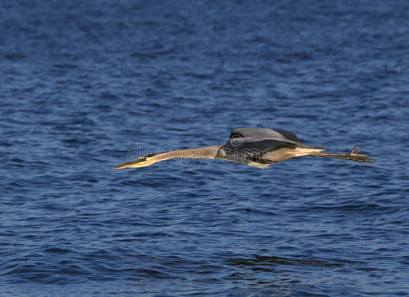 Download Great Blue Heron (Ardea Herodias) Royalty Free Stock Photos - Image: 30394268