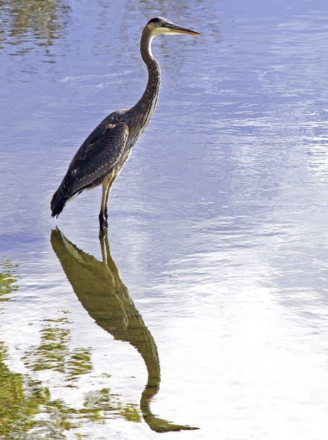 Great Blue Heron Ardea Herodias Fotografiert in Colorado stockbild