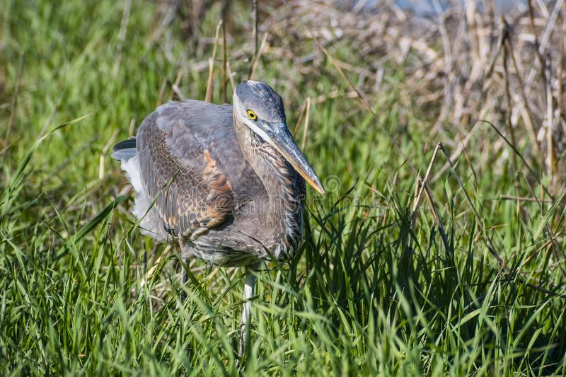 Great Blue Heron Ardea herodias hunting for lizards and gophers. In tall green grass, San Francisco bay area, California stock images