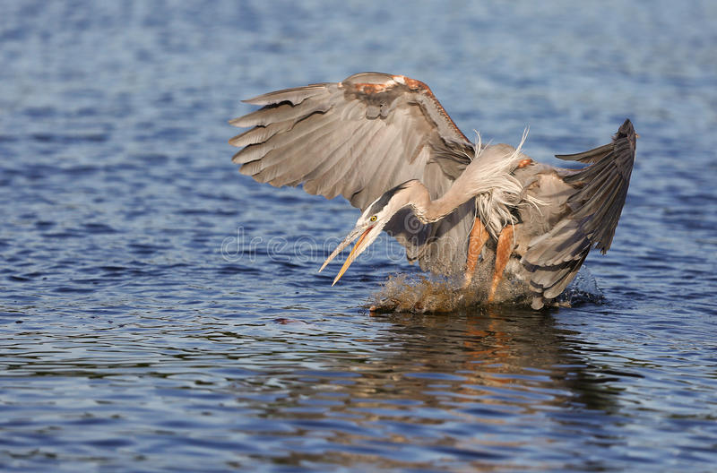 Great Blue Heron attacking a fish stock photo