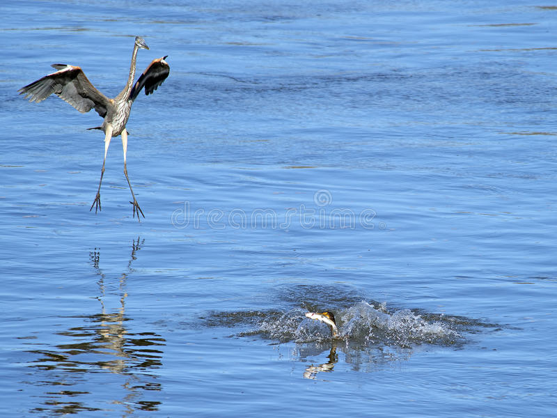 Great Blue Heron attacks Double-crested Cormorant. Great Blue Heron coming down to try and steal fish from Double-crested Cormorant stock image