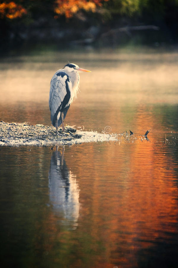 Great blue heron in autum stock photography