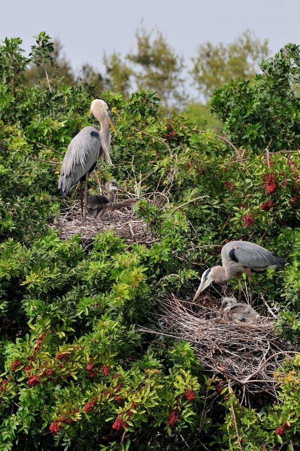 Download Great Blue Heron Babies Stock Image - Image: 4518261