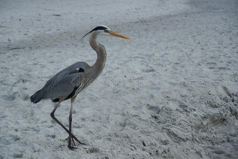 Great Blue Heron on the beach stock photo