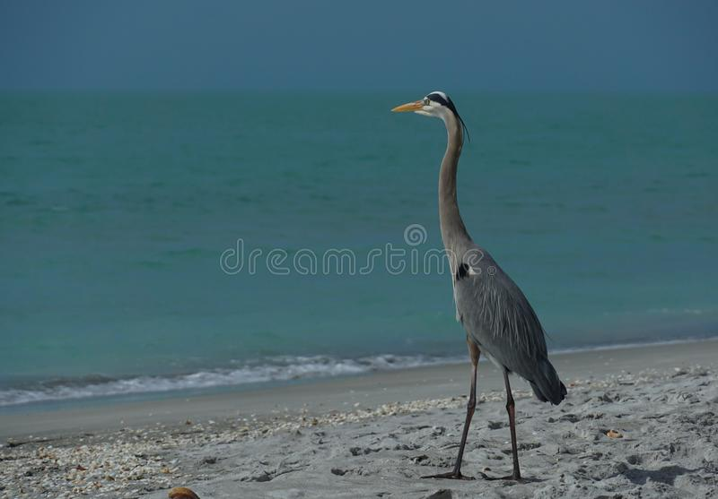 Great Blue Heron on the beach stock images