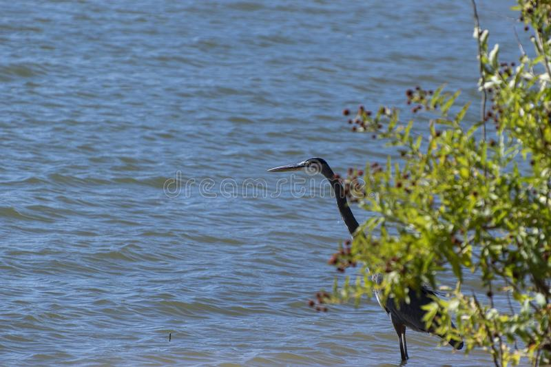 Great Blue Heron behind bush on lake shoreline. A single Great Blue Heron standing in the water on the shoreline appearing to peek out from behind a bush as it stock images