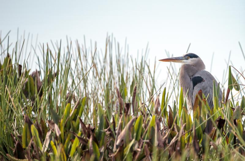 Great blue heron bird, Ardea herodias. In the wild, foraging in a marsh at the Fred C. Babcock and Cecil M. Webb Wildlife Management Area in Punta Gorda stock photography