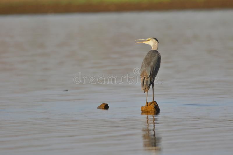 Single great blue heron bird. Great blue heron bird standing alone  on the stone in the river stock photography