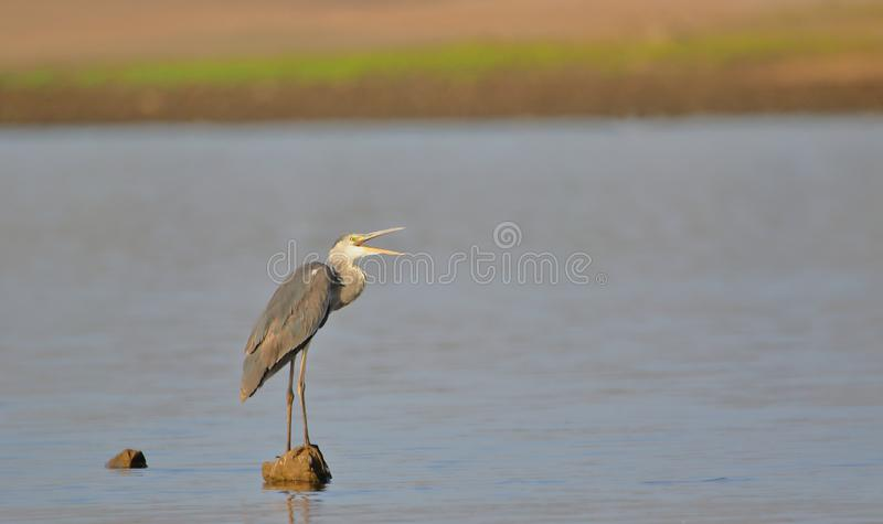Great blue heron bird. Standing on the stone in the water of river. beak are open royalty free stock photography