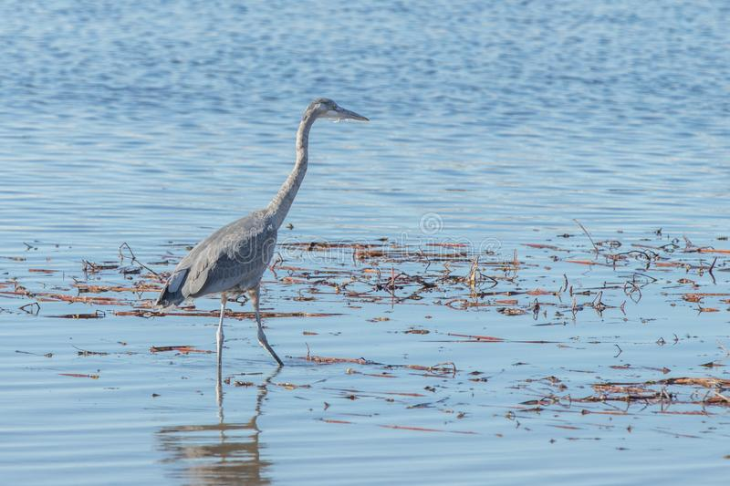 Great Blue Heron Blue form wading in Barr Lake, Colorado royalty free stock images