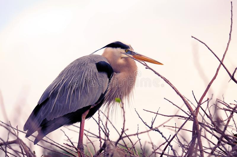 Great Blue Heron in breeding plumage in nest, Florida royalty free stock photo