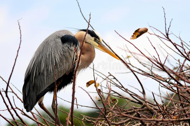 Great Blue Heron in breeding plumage in nest in Florida stock photo