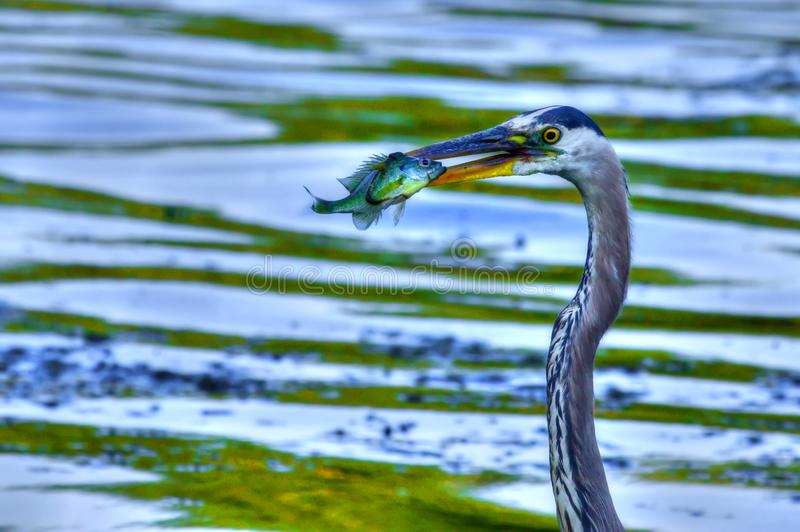Great Blue Heron catches a Bluegill in High Dynamic Range. Bluegill gets Caught by a Great Blue Heron in High Dynamic Range royalty free stock image