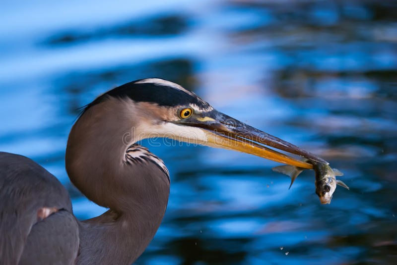 Download Great Blue Heron Catching A Fish Stock Photo - Image: 28664120
