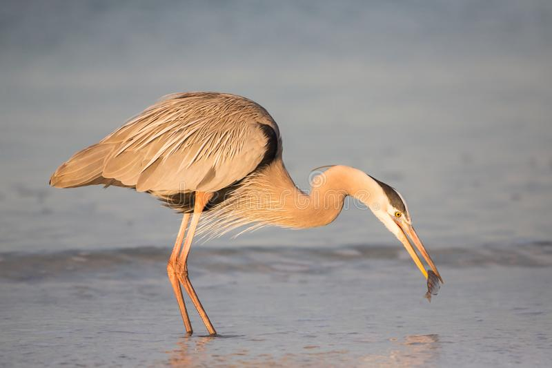 Great blue heron catching a fish, Florida, Unit royalty free stock photo