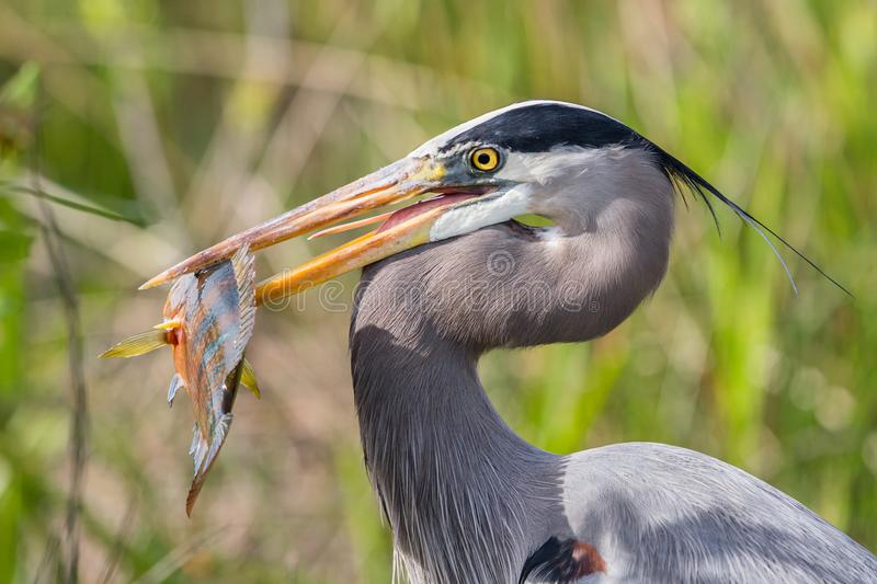 Great blue heron catching a fish, Florida, Unit stock images