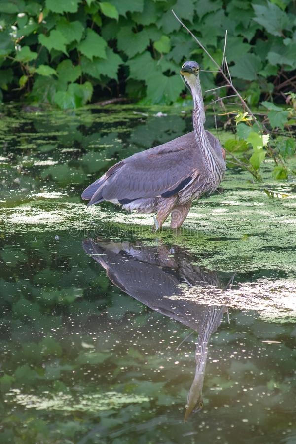Great Blue Heron close up with a beautiful reflection. A profile look at the Great Blue heron in great lighting in Ontario, Canada. A beautiful evening royalty free stock image