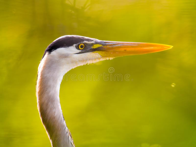 Great blue heron - closeup portrait with interesting green background from the trees and leaves - taken at the Wood Lake Nature Ce stock photography