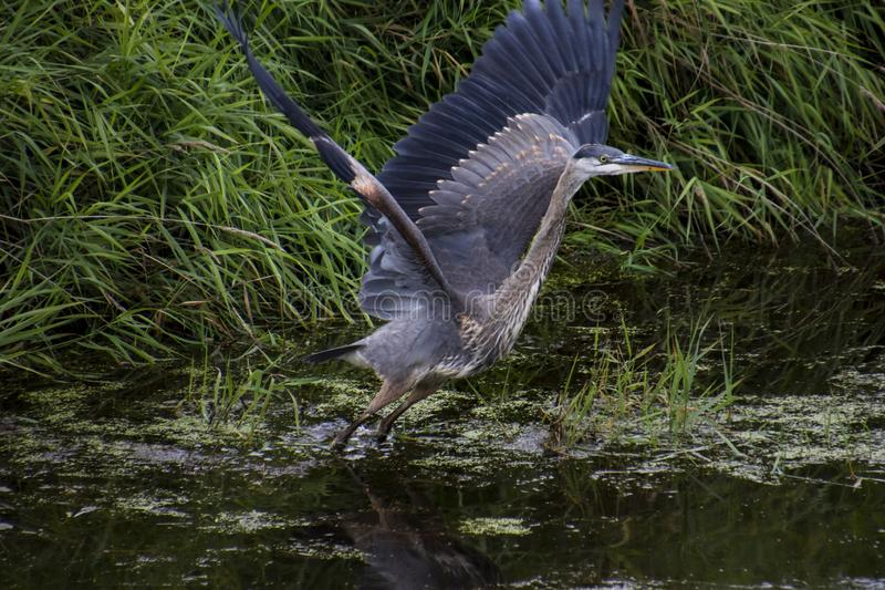 A great blue heron with dark plumage starting to fly away. While standing in a pond, animal, beak, bird, grass, green, nature, park, summer, wild, wildlife royalty free stock photography