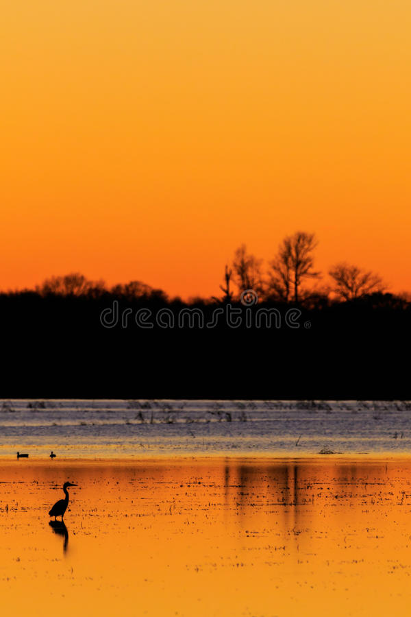 Great Blue Heron with ducks in the background standing in flooded rice field used as hunting ground during duck season at the Bald. Bald Knob NWR - March 2017 stock photography