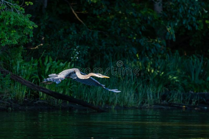Great Blue Heron in Early Morning Flight royalty free stock photos