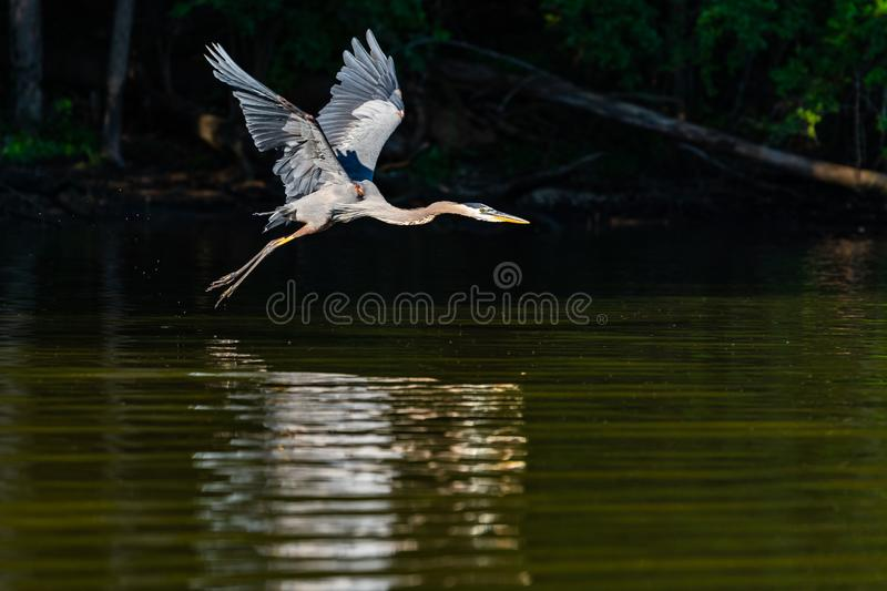 Great Blue Heron in Early Morning Flight stock photos