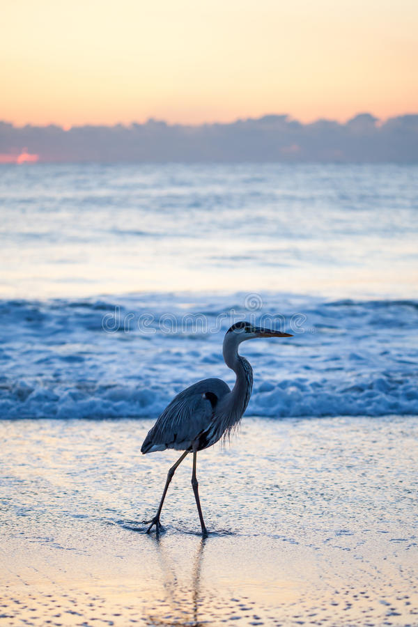 Great Blue Heron. This great blue Heron enjoys a stroll in the Atlantic Ocean as the sun begins to rise royalty free stock photography