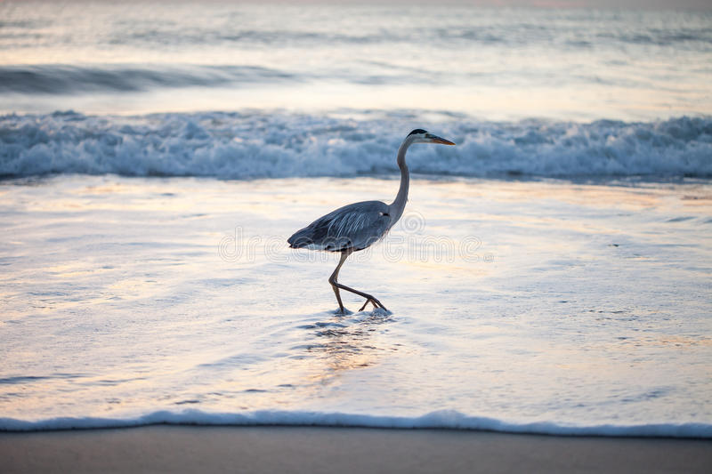 Great Blue Heron. This great blue Heron enjoys a stroll in the Atlantic Ocean as the sun begins to rise royalty free stock photos