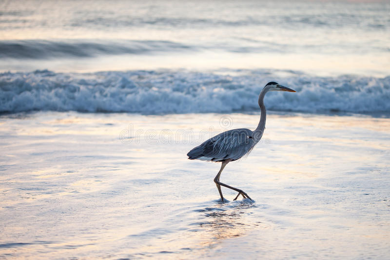 Great Blue Heron. This great blue Heron enjoys a stroll in the Atlantic Ocean as the sun begins to rise stock images