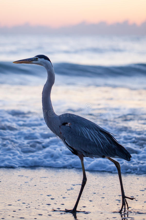 Great Blue Heron. This great blue Heron enjoys a stroll in the Atlantic Ocean as the sun begins to rise stock photo