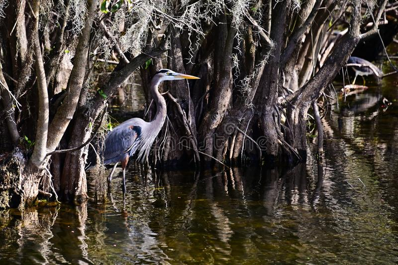 Great Blue Heron on the Everglades stock photography