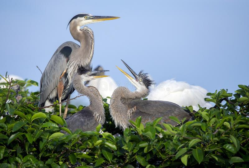Great blue heron family Ardea herodias royalty free stock images