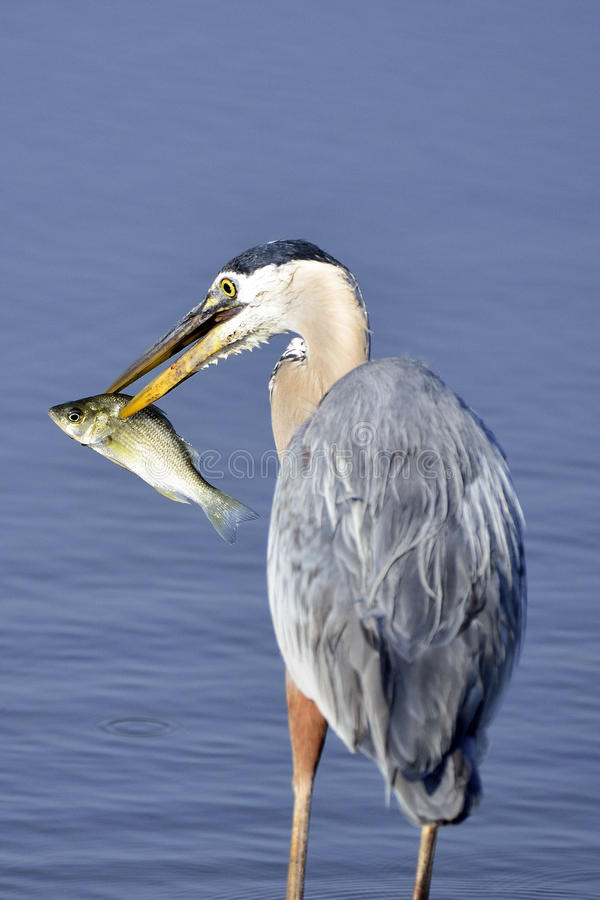 Download Great Blue Heron With Fish stock photo. Image of ornithology - 19834410