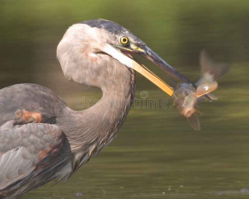 Great Blue Heron with Fish stock photography