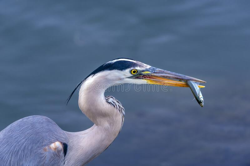 Great blue heron with a fish in it`s beak royalty free stock photo