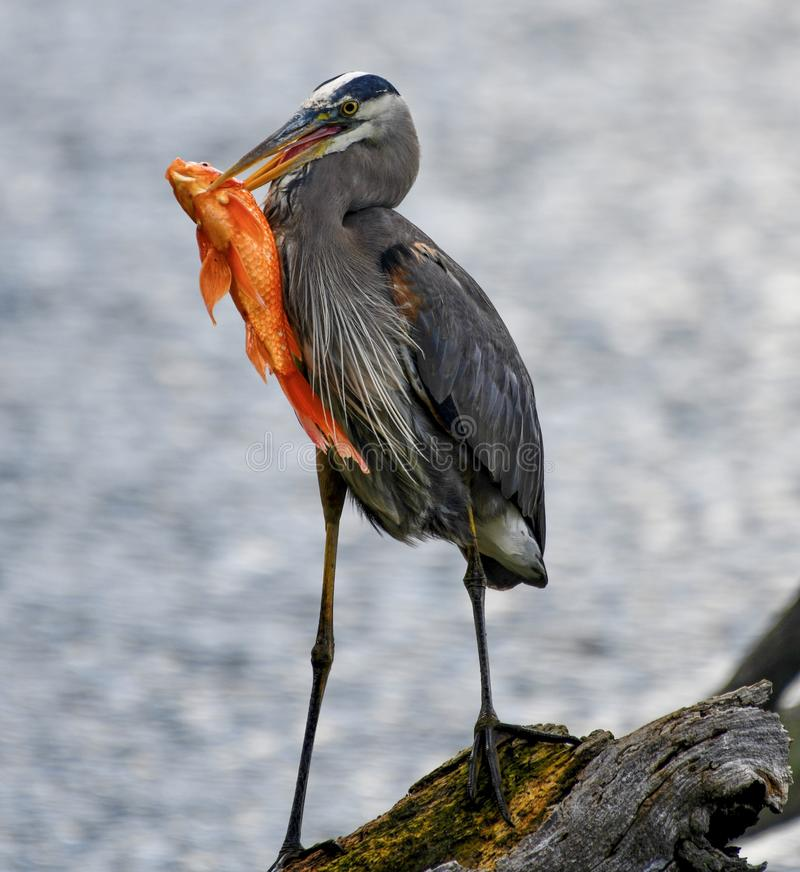 A Great Blue Heron and a Fish #2. This is a Spring picture of a Great Blue Heron on a log with a fish in its' bill in the North Pond in Lincoln Park royalty free stock images