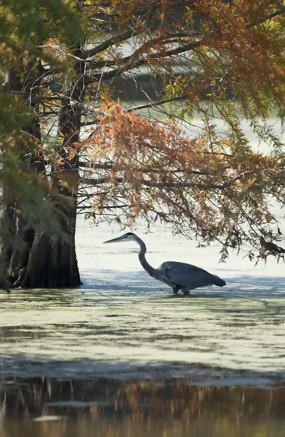 Great Blue Heron fishing. Great Blue Heron hunts for lunch in a cypress swamp in Muscatatuck Nature Preserve in south-central Indiana stock photo